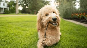golden retriever poodle goldendoodle
