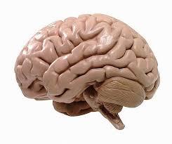 hoe zwaar zijn de hersenen van een hond