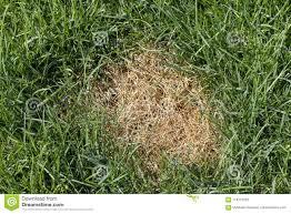 Turf Disease Anthracnosis Fungal Disease Of The Lawn Stock Image Image Of Field