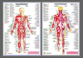 Major Muscles Anatomy Professional Fitness Wall Charts 2