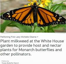 plant milkweed sign our petition help save the monarch butterfly  michelle obama please plant milkweed at the white house