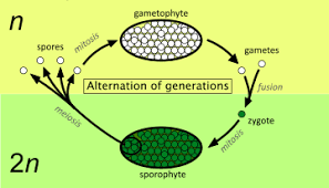 Alternation Of Generations Wikipedia