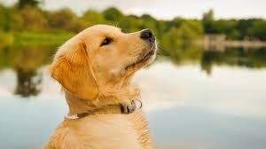 Puppy Feeding Chart Golden Retriever Best Food For Golden Retriever Puppy Dogs Top Tips And Reviews