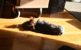 Image result for terrier in the sun