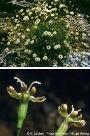 Species description (Flora Helvetica 2018)