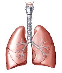lungs five paragraph essay on the respiration system eett  lungs