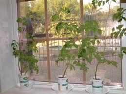 indoor tomato garden. Indoor Tomato Garden E