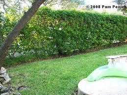 Aliexpresscom  Buy Climbing Plants Mucuna Wisteria Pyrostegia Climbing Plants For Fence