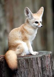 fennec fox. Modren Fox Fennec Fox U2026 To