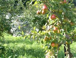 8 Fruit Trees You Can Grow Right On Your Balcony  Rodaleu0027s Prune Fruit Tree