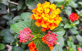 south florida perennial flowers to
