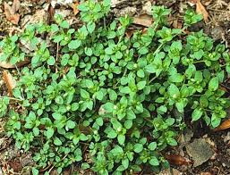 invasive lawn weeds. Fine Weeds Common Chickweed Inside Invasive Lawn Weeds I