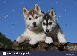 brown and black husky puppies. Modren Puppies Dog Siberian Husky Two Puppies Black And White Brown On Wood   Stock Image On Brown And Black Puppies