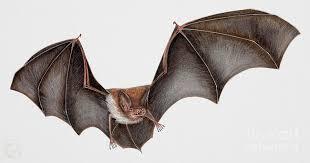 bat painting daubentons bat myotis daubentonii murin de daubenton murcielago ribereno vespertilio