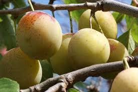 The 25 Best Plum Varieties Ideas On Pinterest  Red Wine Glasses Plum Fruit Tree Varieties