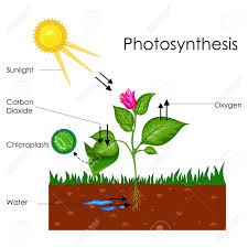 Biology Chart Education Chart Of Biology For Photosynthesis Process Diagram