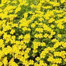 bacopa mecardonia plants yellow