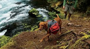 dog on the trail with a pack on