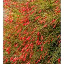 Red Firecracker Fern | Shoal Creek Nursery LLC | Austin, TX