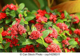 west indian jasmine red flowers csp14298311