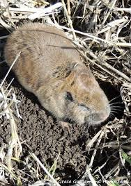 get rid of gophers in gardens and fields lists both lethal and non lethal