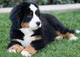 as with all breeds growing puppies and young s use a lot of energy they require a t that features good quality protein according to the national