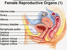 Female reproductive system  labelled Pinterest