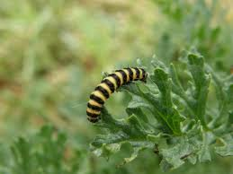 Black yellow striped caterpillar