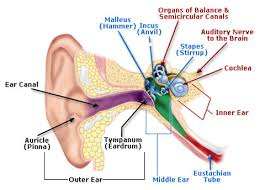 osha technical manual (otm) section iii chapter 5 noise Diagram Of Human Ear For Class 8 anatomy of the human ear illustration includes outer ear auricle (pinna), ear diagram of human ear for class 8