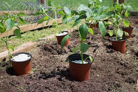 indoor tomato garden. Summer Tomato Planting Tips For Transplanting Indoor Seedlings Outside To Your Garden. Follow These Garden _