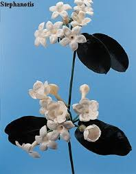 mon flower name stephanotis mon flower name stephanotis