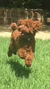 akc red toy poodles are our specialty we offer toy and miniature red poodles we also have phantoms with red points red parti toy poodles will be