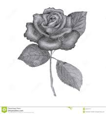 Small Picture Drawn Rose Stock Photos Image 23618773
