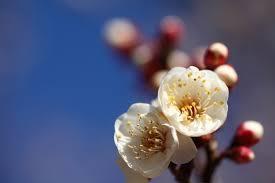 「冬至 梅」の画像検索結果