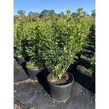 Murraya Paniculata XXL 400mm Pot / 45L ...
