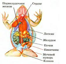 Пищеварительная выделительная и дыхательная системы земноводных  Рис 187 Внутреннее строение лягушки