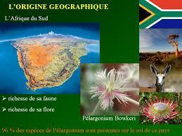 """Résultat de recherche d'images pour """"photo afrique du sud  pelargonium"""""""