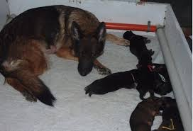 german shepherd newborn puppies. Delighful Shepherd From What I Can Remember These Photos Are Of The Puppies Somewhere Between  Birth And 10 Days Old The Quality Is Not Greatest But Hopefully You  Throughout German Shepherd Newborn Puppies E