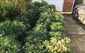 cannabis plants found in downham garage credit kings lynn police