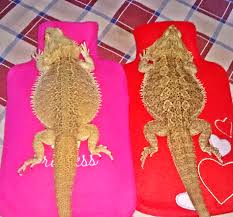 relieve bearded dragon impaction
