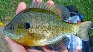 Bluegill Aquaponics Is It A Good Fish