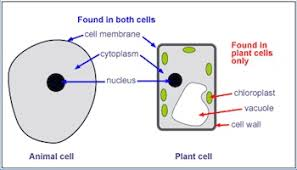 the difference between plant and animal cells video lesson  structures common to animal and plant cells