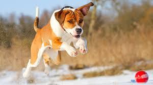 pitbull dog stunning photo new desktop hd wallpapers wide free lovely s pets widescreen 1920 1080 wallpaper hd
