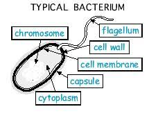 collection diagram of bacteria cell pictures   diagrams
