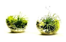 hanging air plant terrarium glass orb
