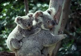 koala ¨¨ ^^ := =) Images?q=tbn:ANd9GcTX8ICzcgPOyZ0uhYElGaEk3CAqOLzKRZ6Ueg4r6-MPbTJ7Zm4Y4A