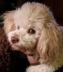 rudy bichon frise poodle mix dog for adoption in austin texas 5 poodlepups