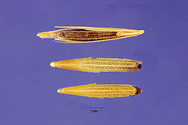 Plants Profile for Bromus tectorum (cheatgrass)
