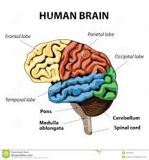 structure of brain label in hindi human brain essay essay writing  structure of brain label in hindi tagged structure of human brain in hindi archives