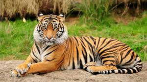 national animal of royal bengal tiger an essay